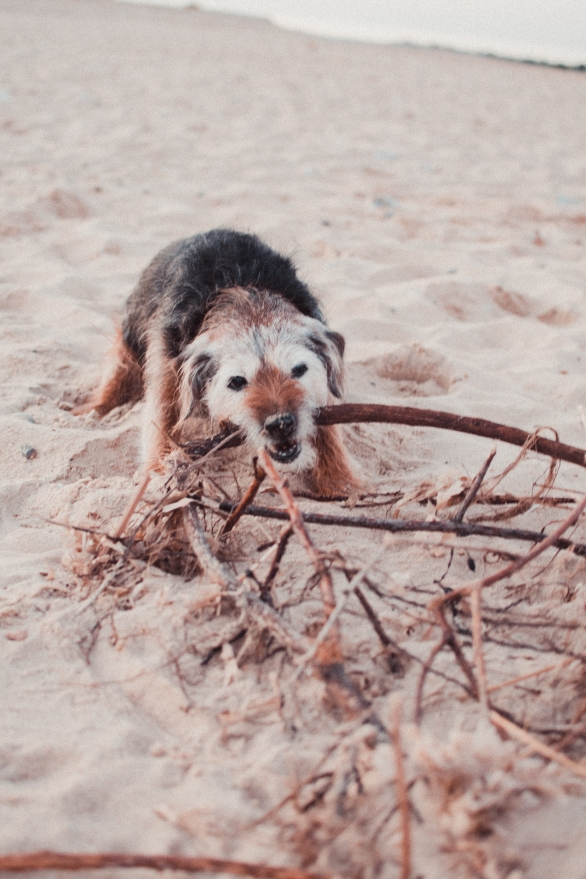 """A very cute Charlie the dog attempting to """"kill"""" a piece of tree.."""